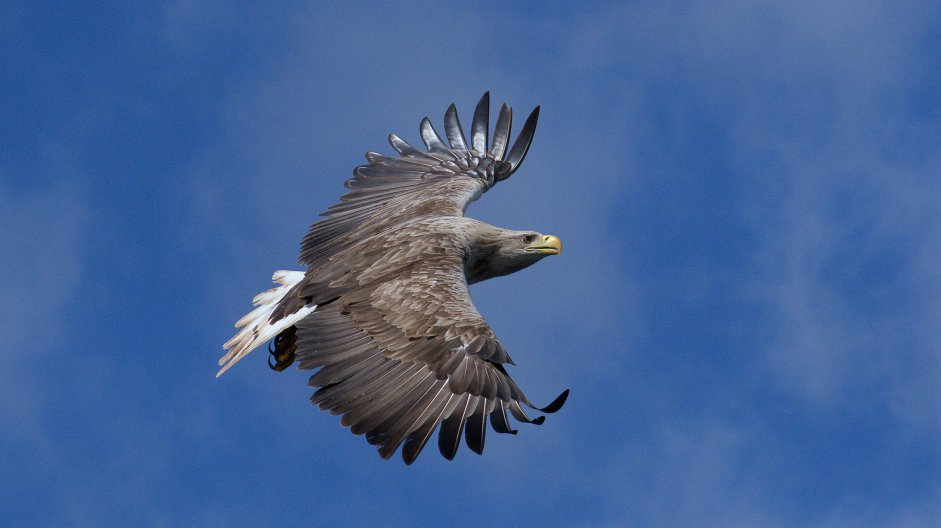 White tailed Eagle by Jeff Smith