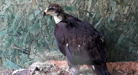 Eaglets Blog #2: Emily in the aviaries