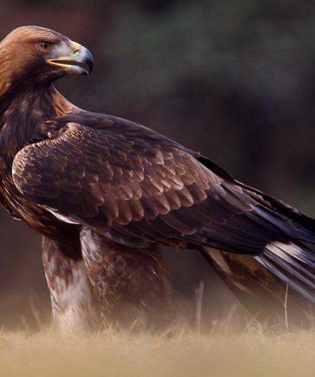 Golden Eagle - Laurie Campbell