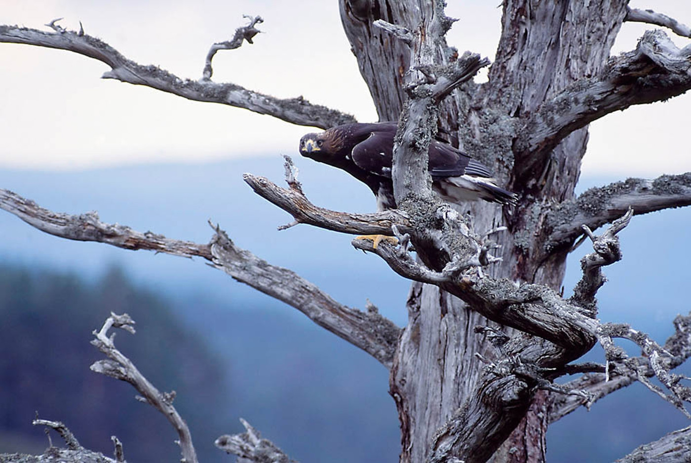 Juvenile Eagle in tree