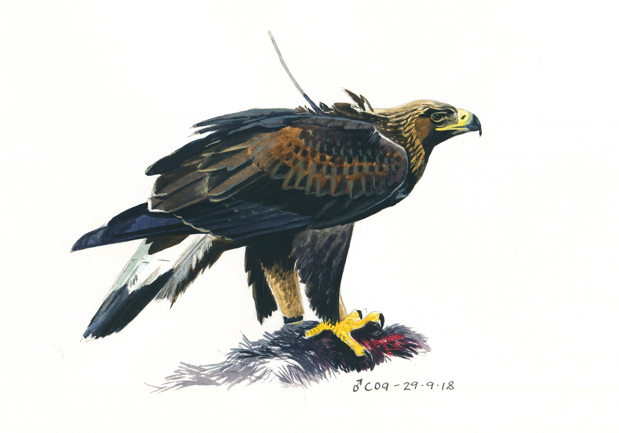 Merry Christmas from the South of Scotland Golden Eagle Project