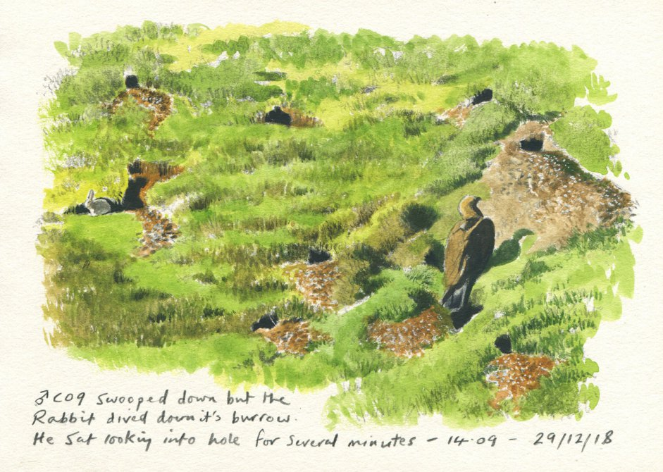 Sketch of Edward (C09) hunting rabbits by John Wright