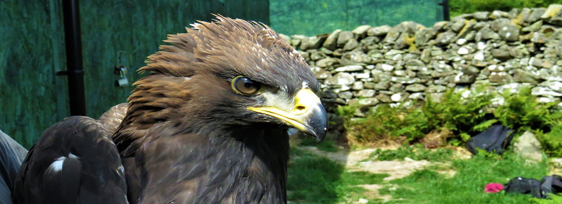 Edward the young male Eagle from the first release