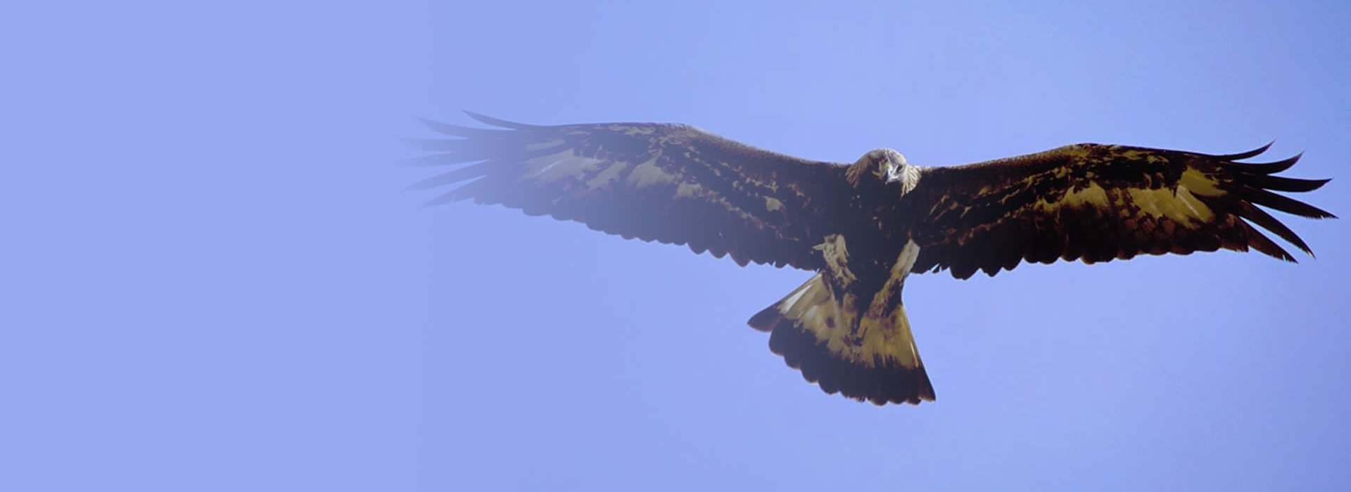 Eagle soaring and looking down