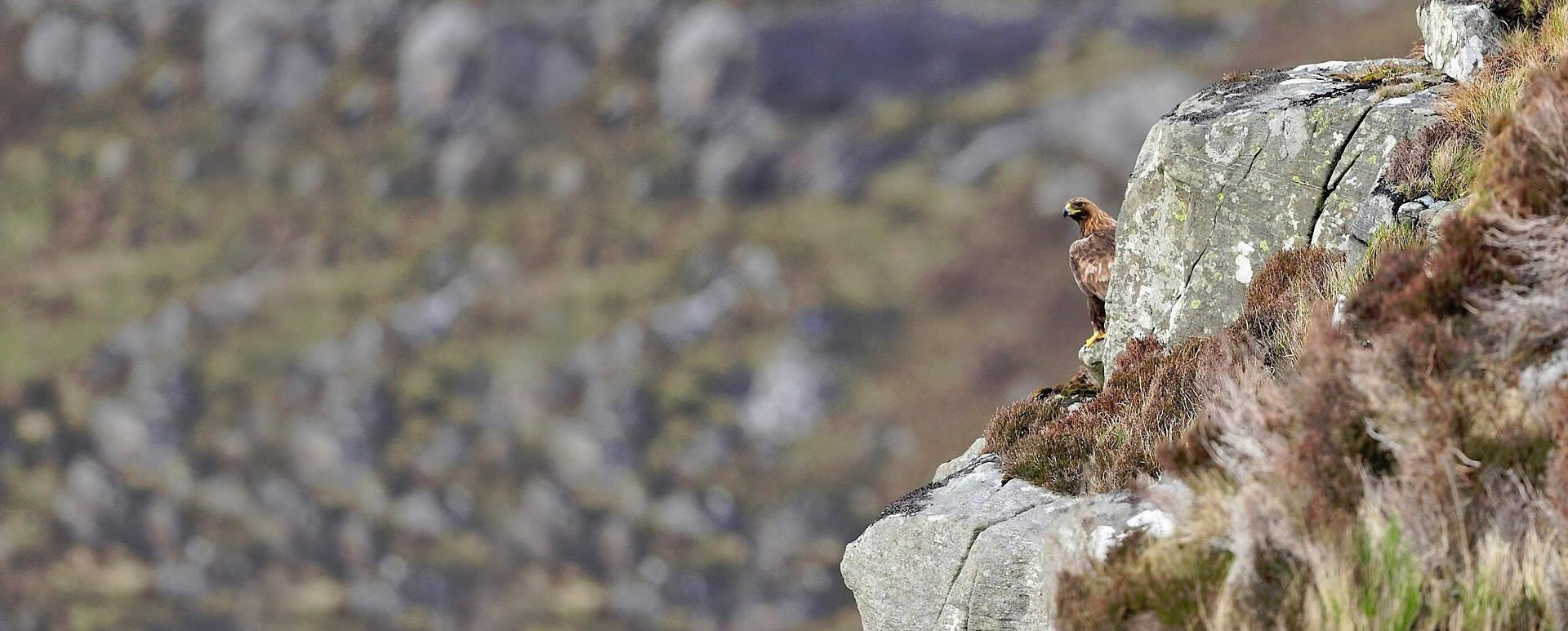 Golden Eagles For South Scotland