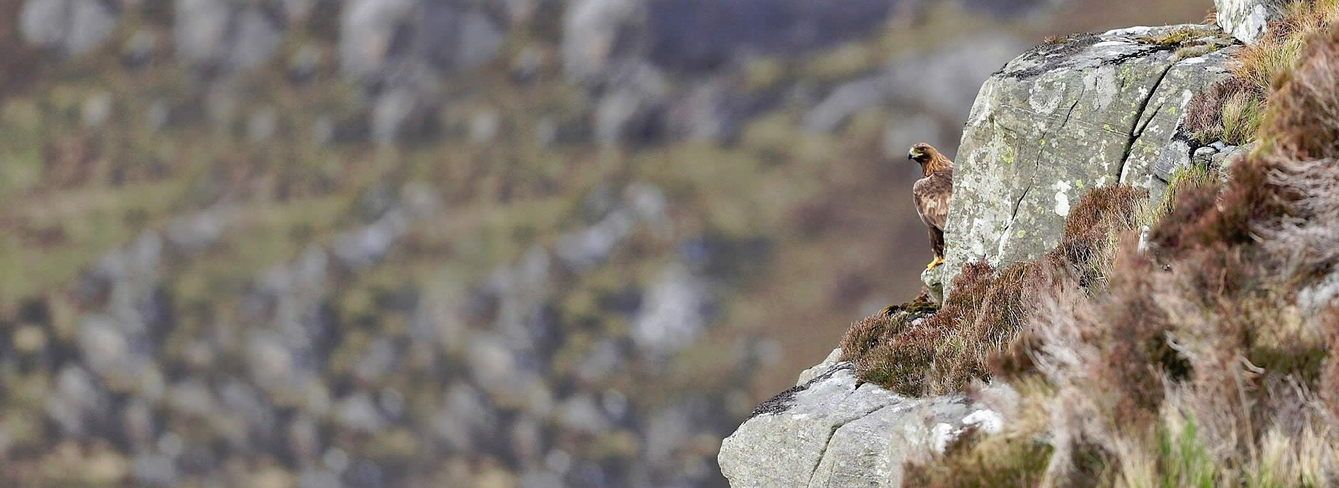 Golden Eagle peering round the corner of a crag