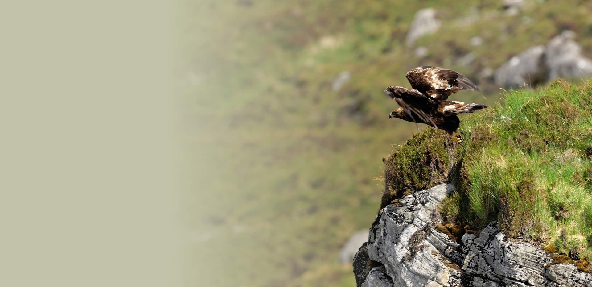South Scotland Golden Eagle Reintroduction