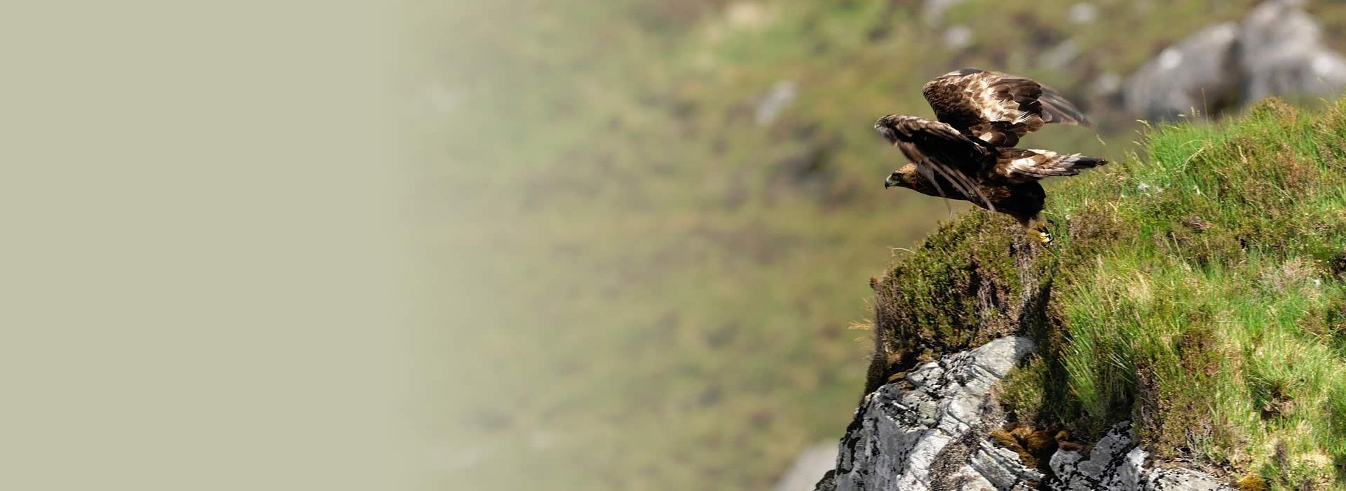 An eagle taking off from a cliff edge