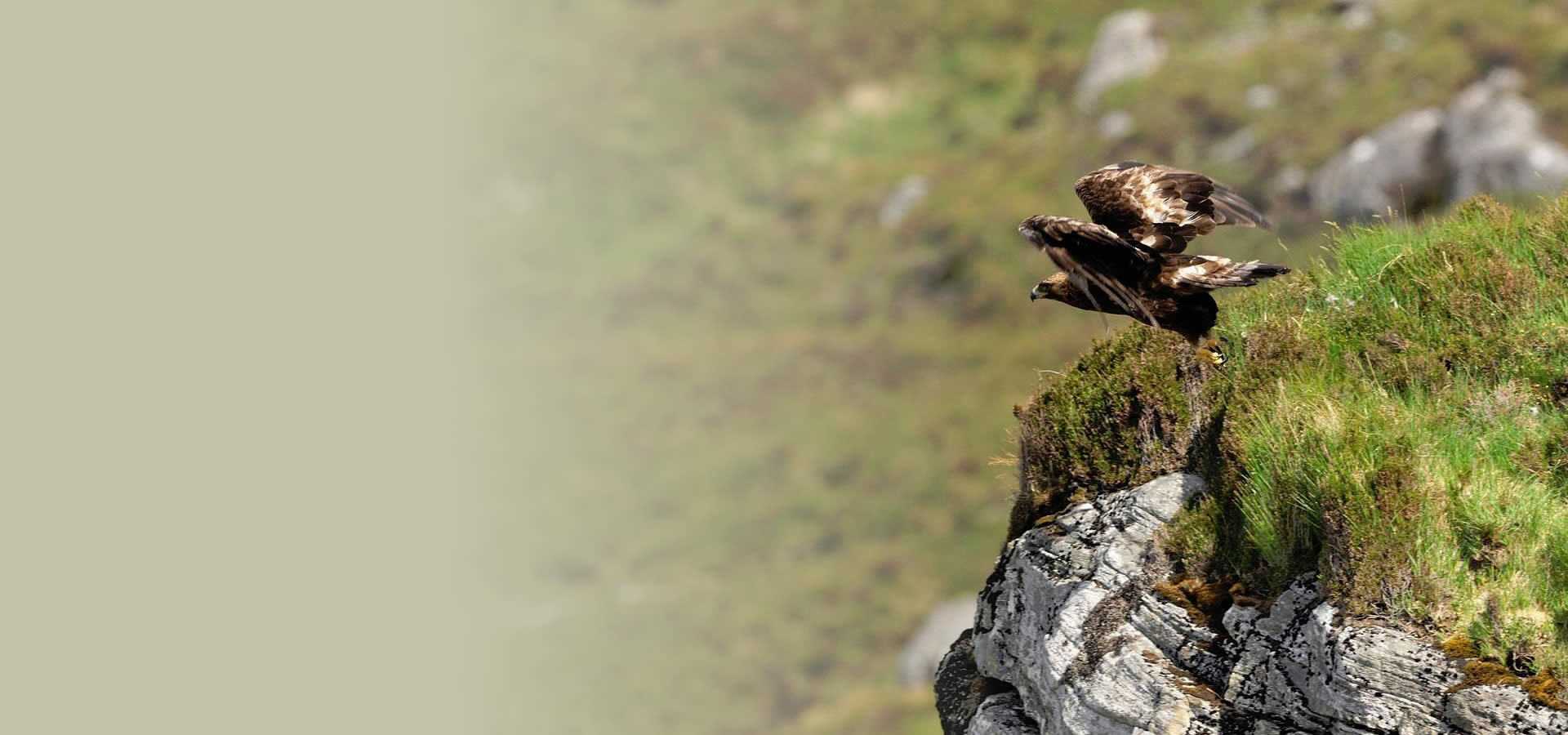 Golden Eagle taking off the side of a cliff