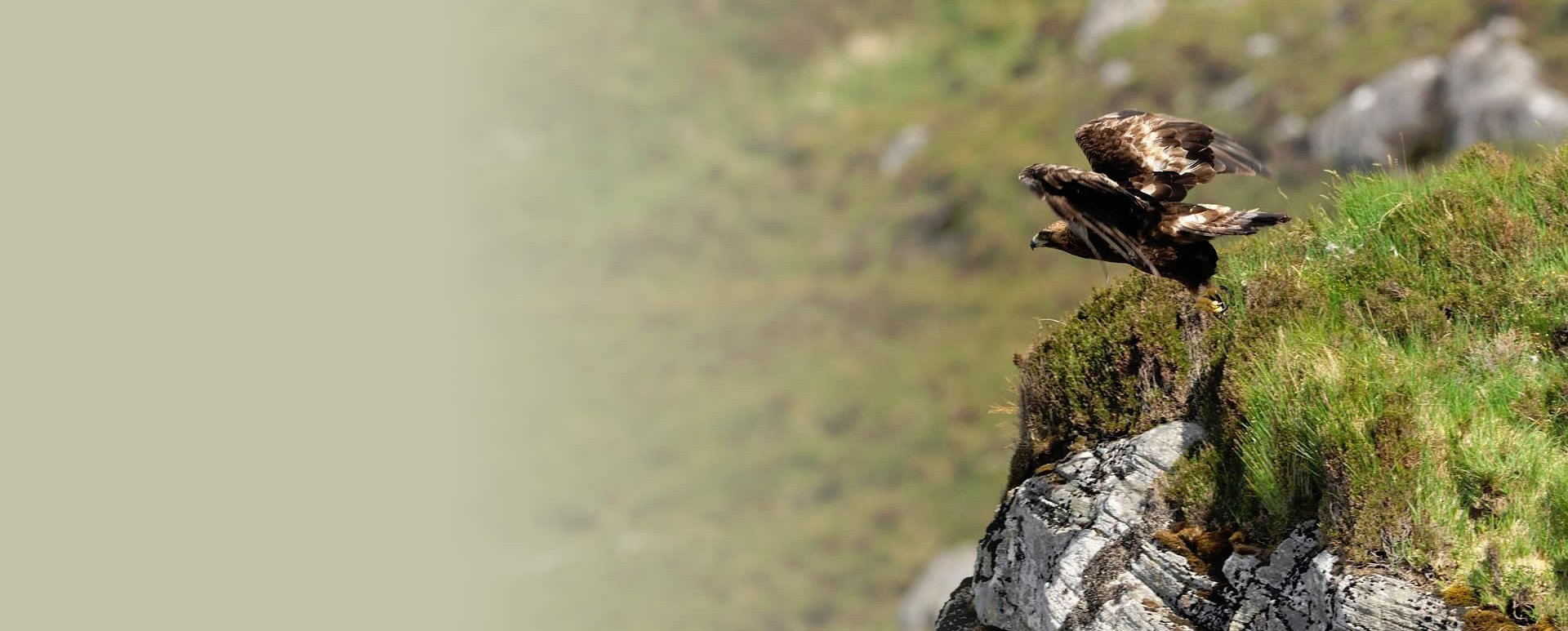 South Scotland Reintroducing Golden Eagles