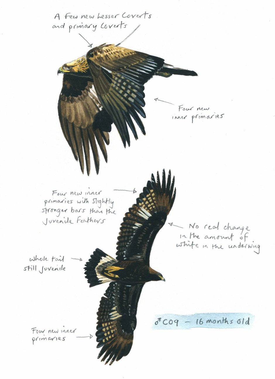 Sketches of eagles in molt