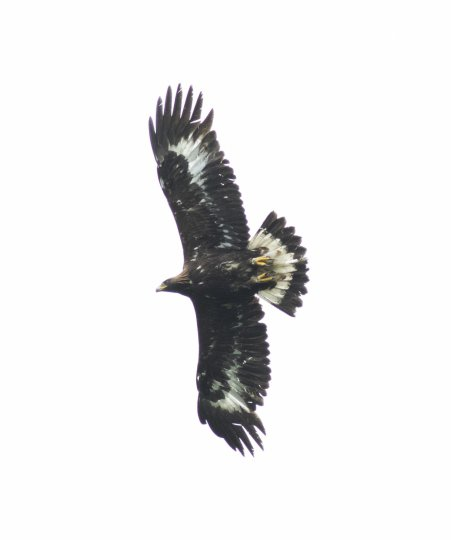 Beaky (C11) soaring with clear view of sub-adult white feather patches on underwing and tail