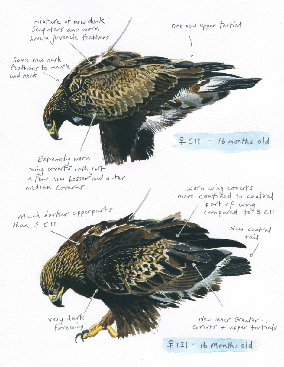 Sketching of C11 (Beaky) showing her markings and development into a sub-adult bird