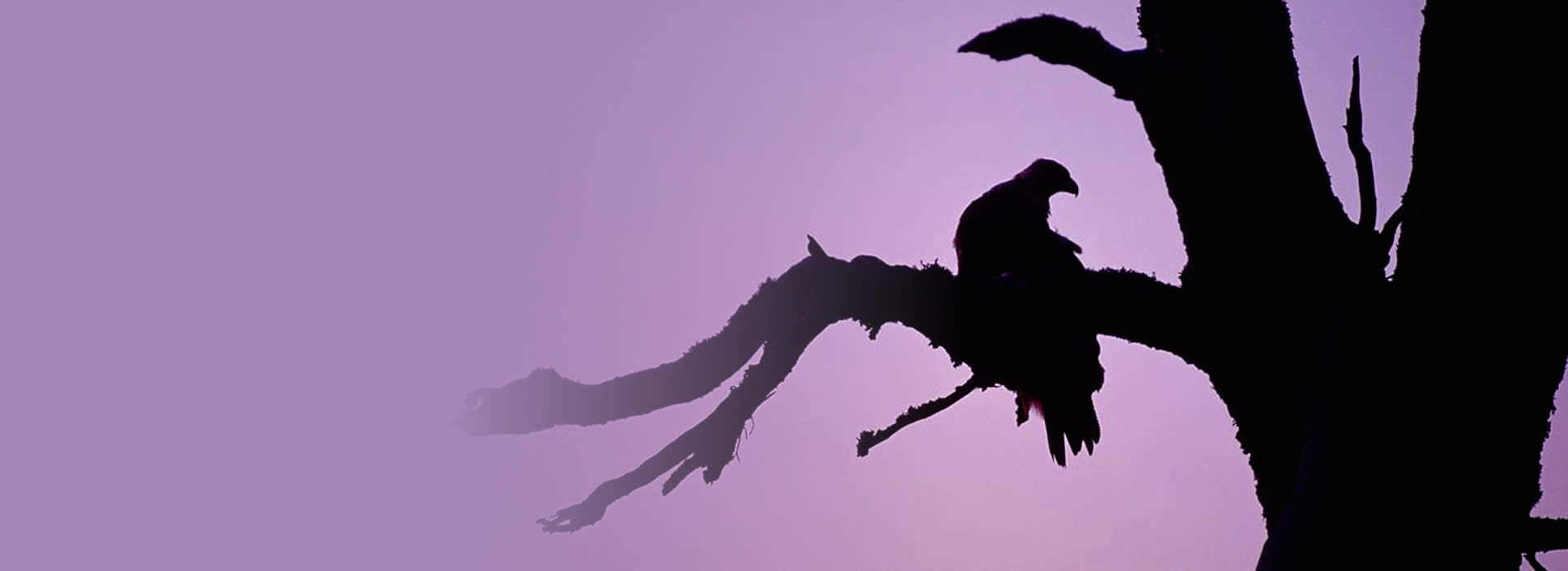 Silhouetted Eagle