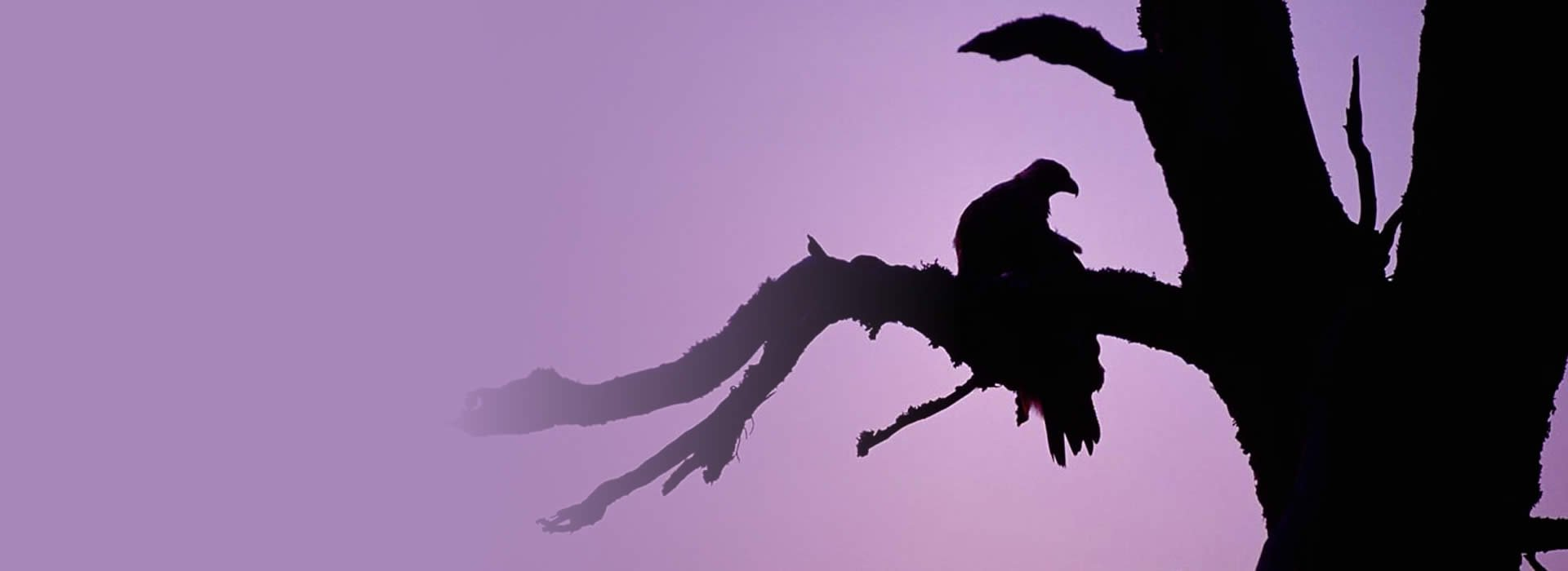 Eagle silhouette - Laurie Campbell