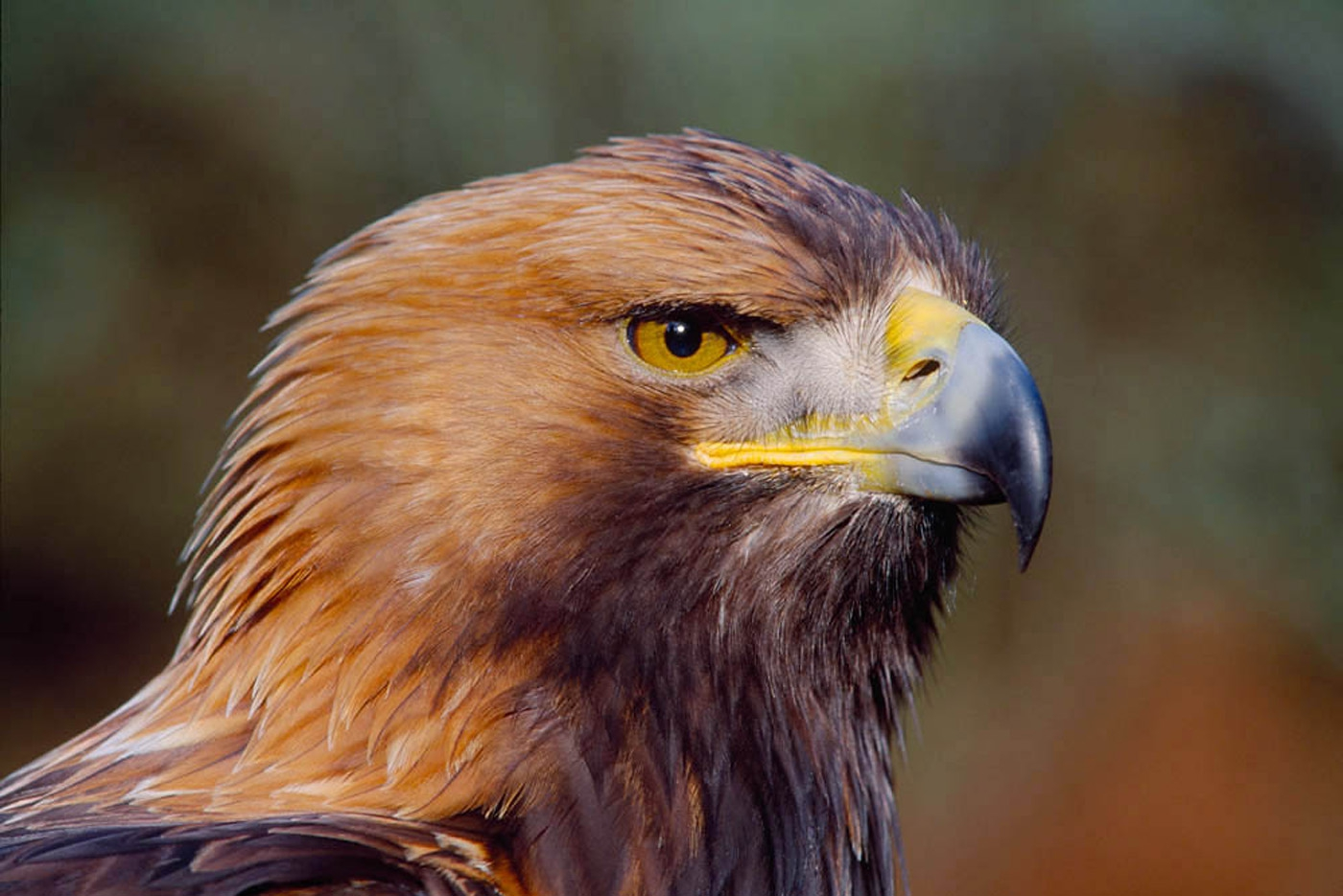 Golden Eagle head portrait