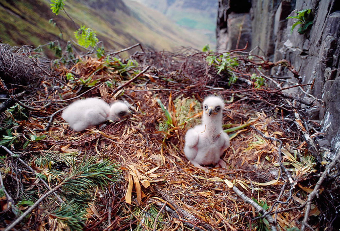 An eagle eyrie with twin chicks