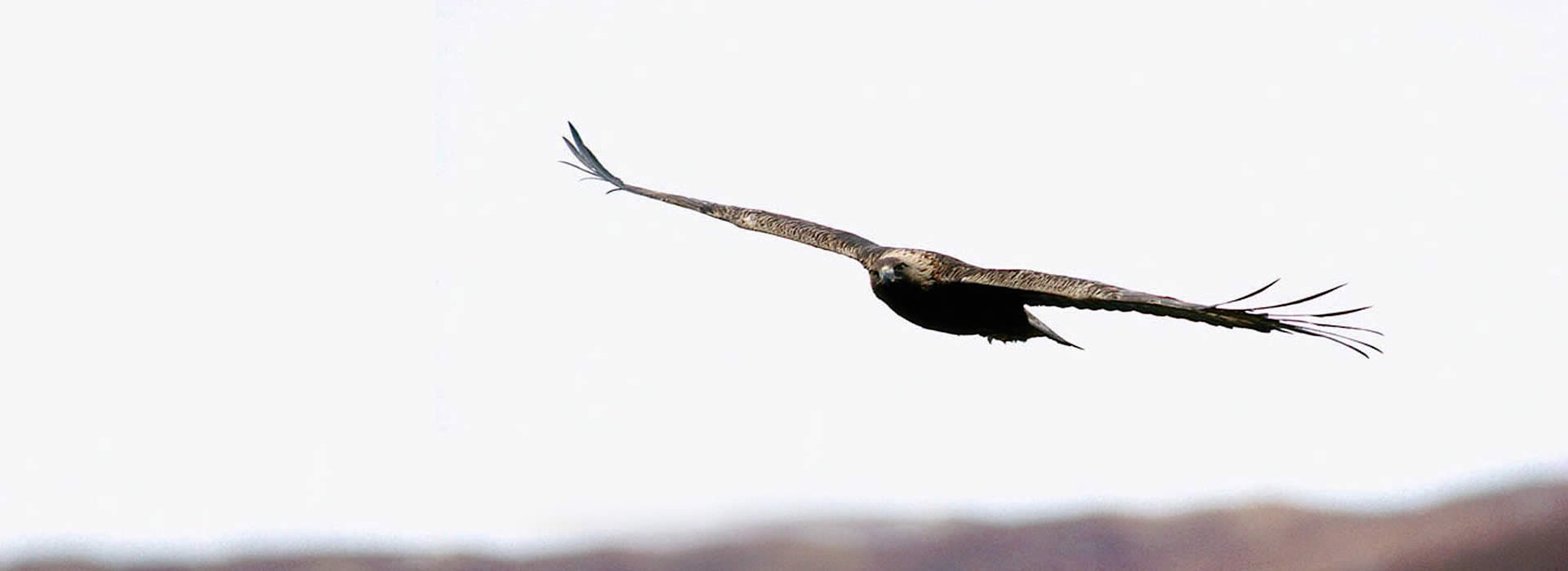 Golden Eagles Reintroduced South Scotland