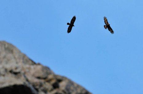 Two Golden Eagles soaring