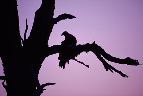 Golden Eagle roosting in the branches of a dead tree at dusk
