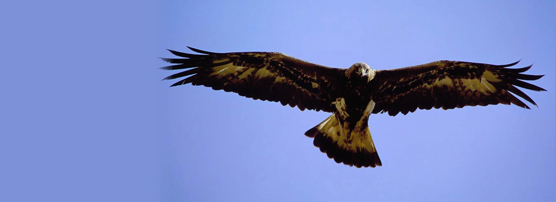 Close up of a soaring golden eagle