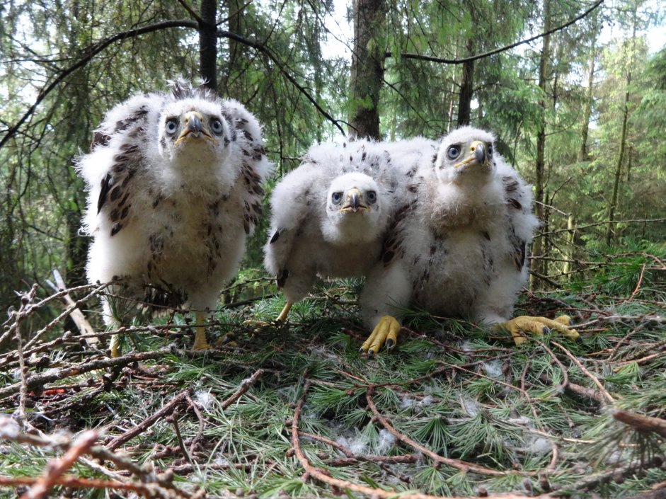 Goshawk chicks in nest - Mike Marchant