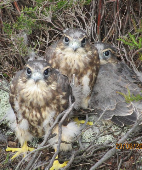 Young Merlins in nest - Mike Marchant
